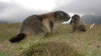 Zwei Murmeltiere auf einer Wiese