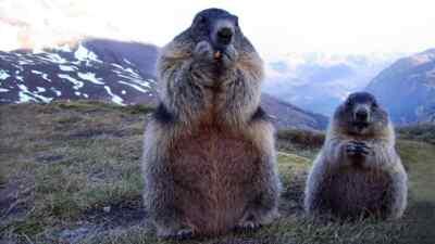 Zwei Murmeltiere beim Fressen
