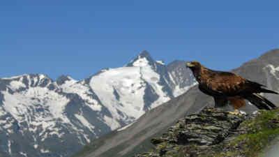 Ein Steinadler auf einem Felsen vor dem Großglockner